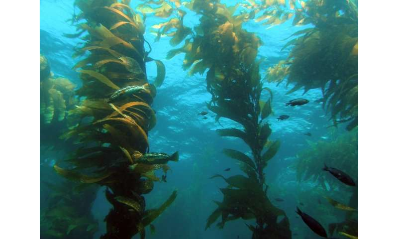 Marine ecologists study the effects of giant kelp on groups of organisms in the underwater forest ecosystem