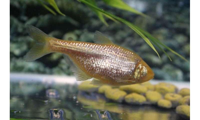 Despite high blood sugar, cavefish live long, healthy lives, study finds