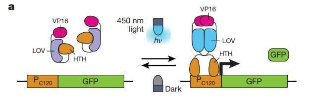 Using optogenetics to program yeast to produce more isobutanol