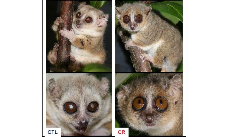 Eating less enables lemurs to live longer