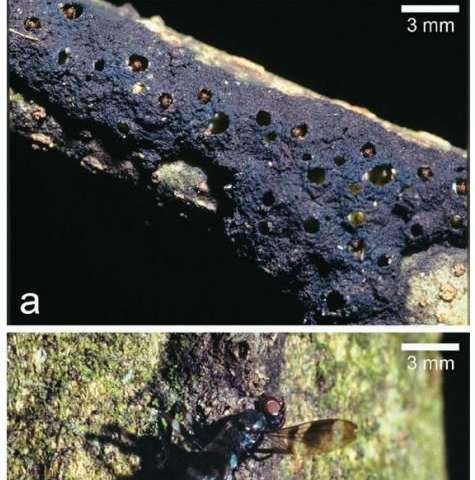 Ants found to use trapping technique to capture much larger prey