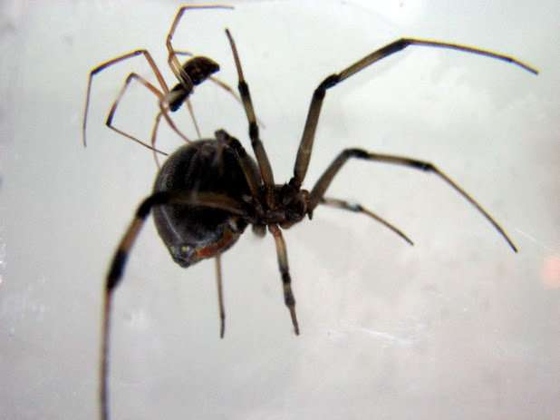 Brown widow male spiders prefer sex with older females likely to eat them afterwards