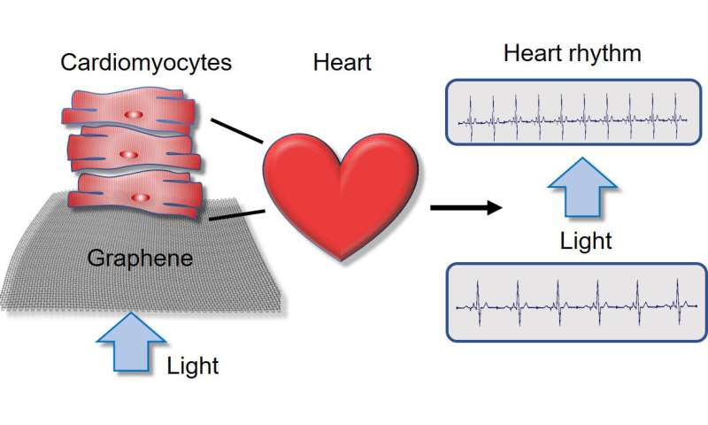 Researchers operate lab-grown heart cells by remote control