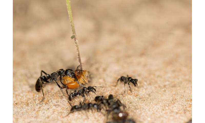 Matabele ants travel faster with detours
