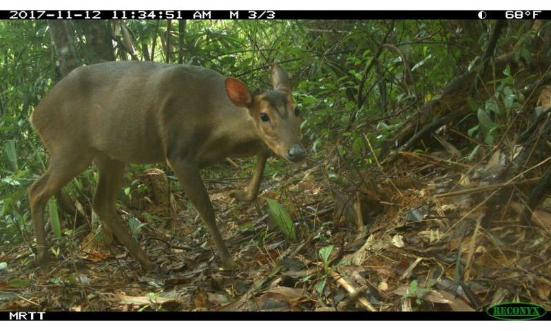 First record of large-antlered muntjac in Quang Nam, Vietnam, in the wild provides new hope for the survival of this species