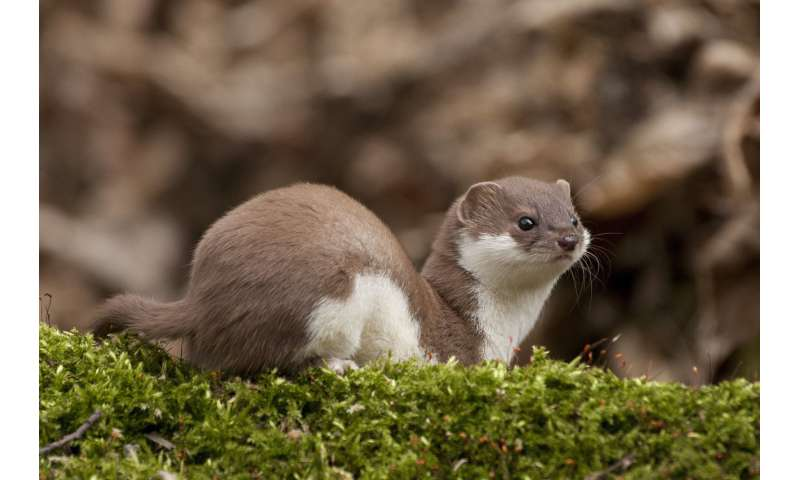 Less snow leaves weasels exposed to predators: scientists