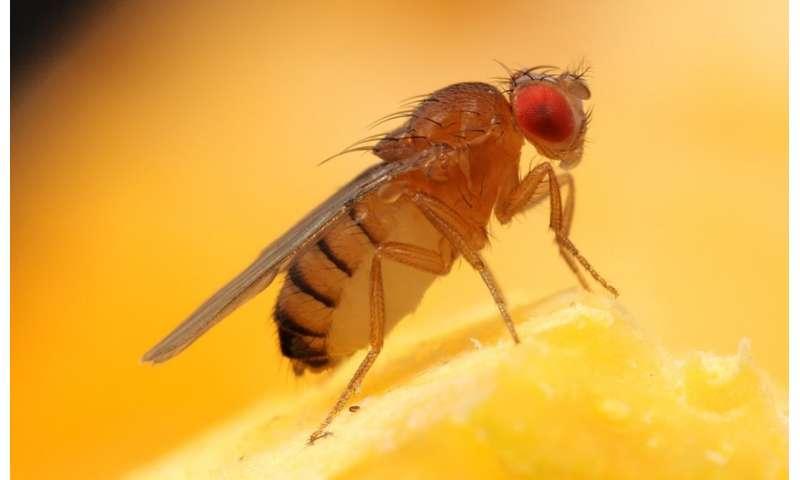 Fruit flies fear lion feces