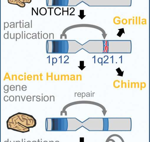 Genes found only in humans influence brain size