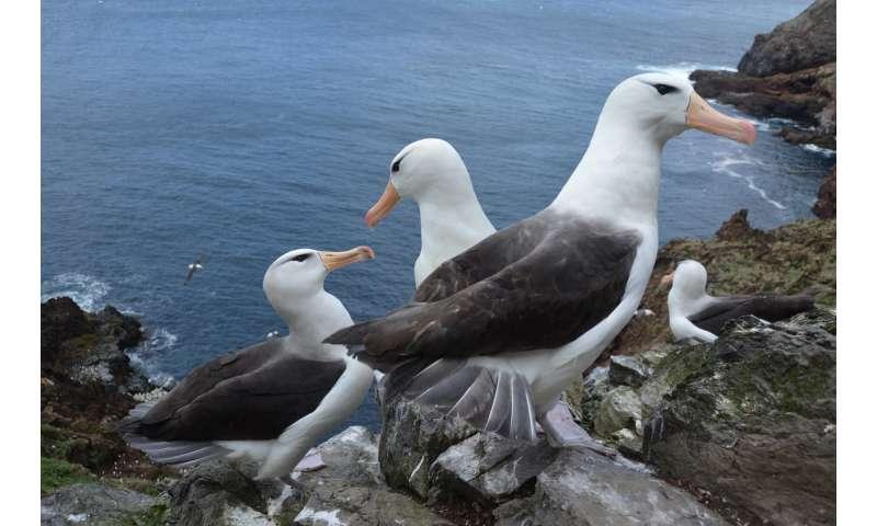 Rising sea temperatures threaten survival of juvenile albatross