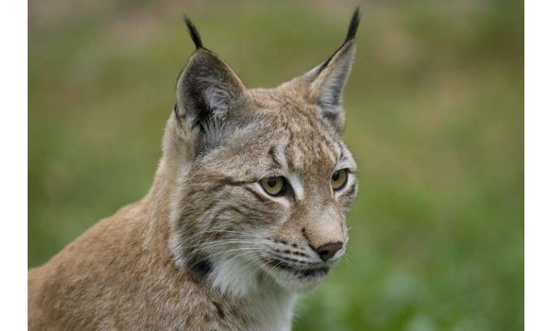 Lynxes in danger