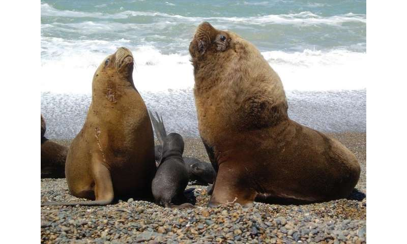 Hunting and fishing activities cause dietary changes in South American fur seals and sea lions