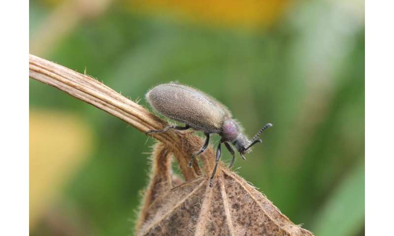 Lateral gene transfer enables chemical protection of beetles against antagonistic fungi