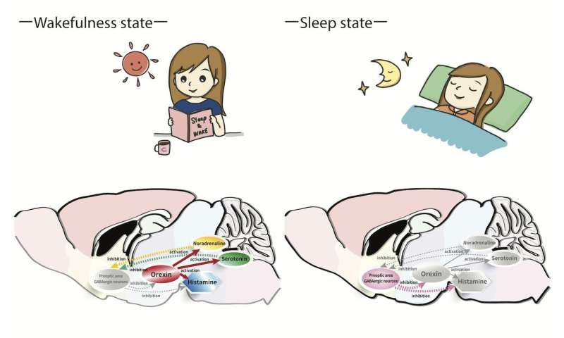 A peek into the interplay between sleep and wakefulness