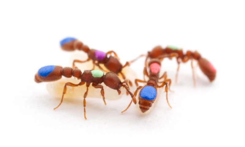 Ant study sheds light on the evolution of workers and queens