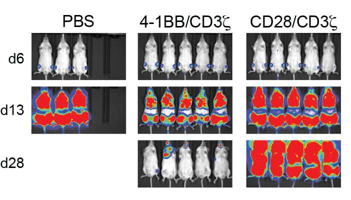 First in-depth profile of CAR T-cell signals suggests how to improve immunotherapy