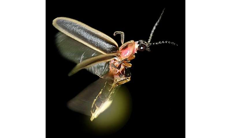 Bat signal: Fireflies' glow tells bats they taste awful