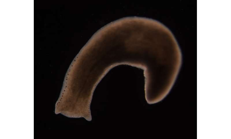 New understanding of worm stem cells could lead to human therapies