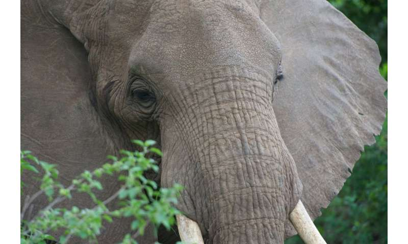 **How the African elephant cracked its skin to cool off