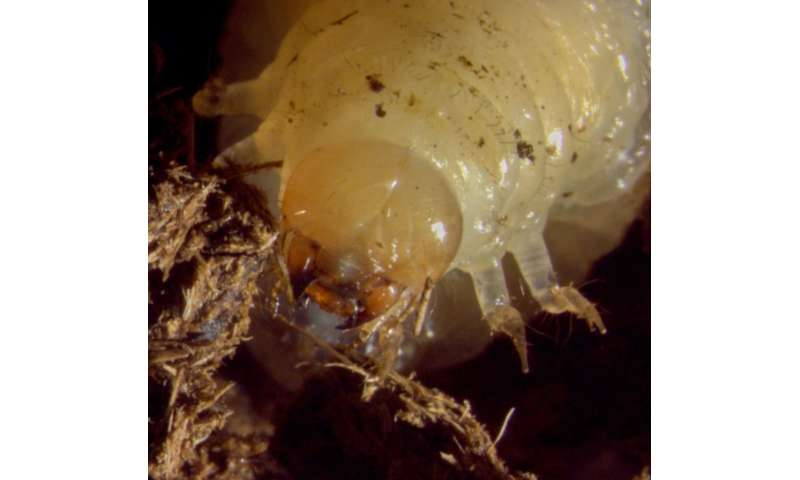 Nematodes found to positively influence dung beetle larval microbiomes