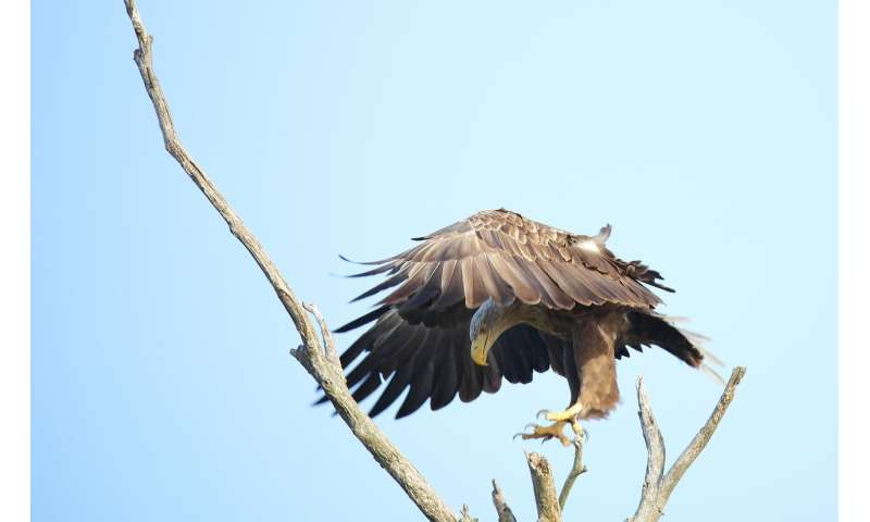 First evidence of fatal infection of white-tailed sea eagles with avian influenza