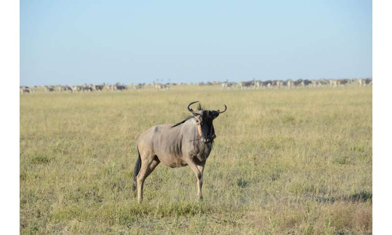**Wildebeest super-efficient muscles allow them to walk for days without drinking