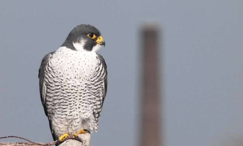 **Dominant bird species found to be more successful then weaker species in economically advanced cities