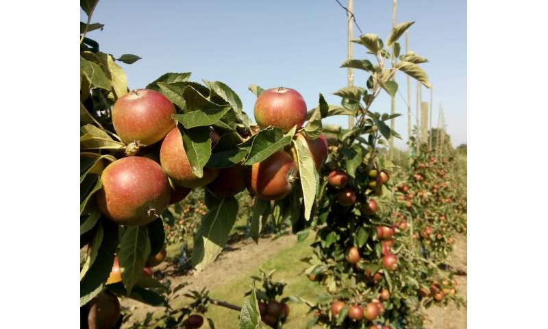 More flowers around apple orchards can yield higher harvest