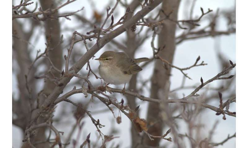 Songbirds set long-distance migration record