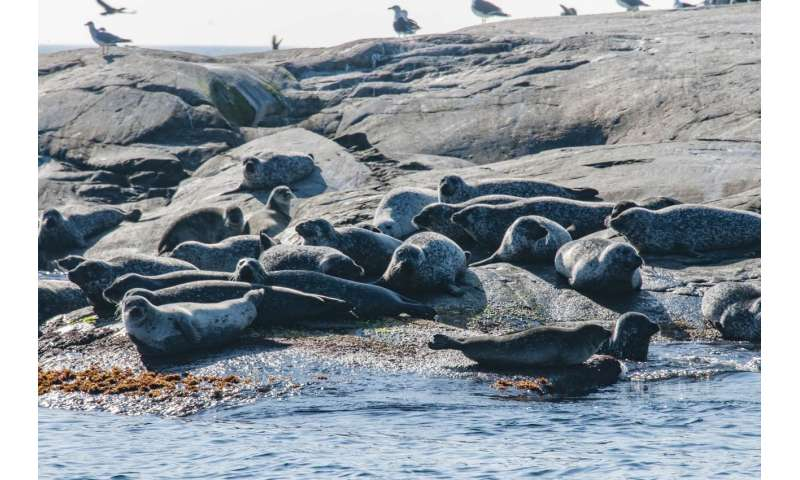 Increasing seal population will not harm largest fish stocks in the Baltic