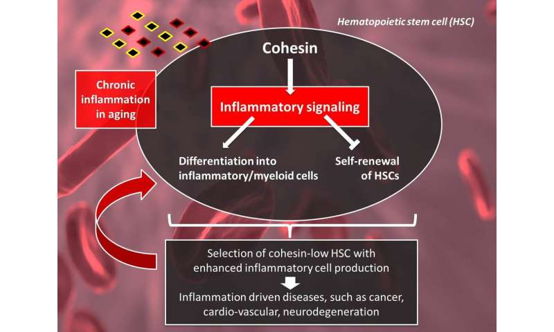 Cohesin down-regulation drives hematopoietic stem cell aging