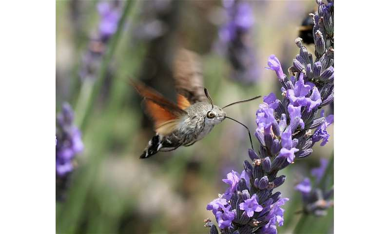 Antennal sensors allow hawkmoths to make quick moves