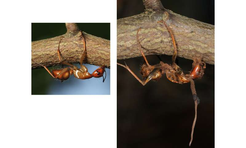 Climate change forced zombie ant mushrooms to adapt