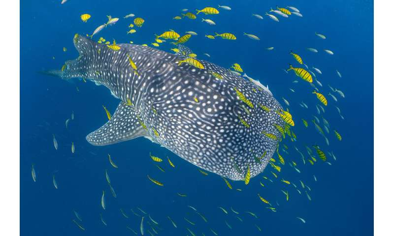 Researchers use 'biological passport' to monitor Earth's largest fish