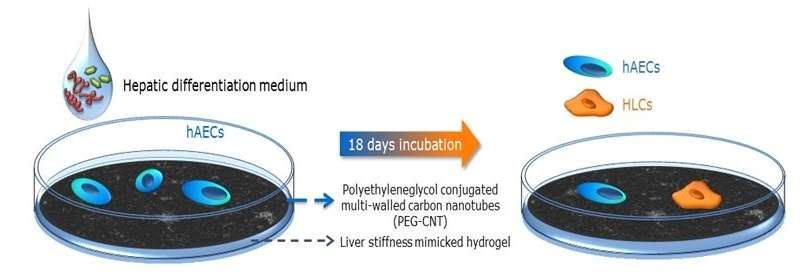 Reconstructing healthy liver cells using a nanomaterial-based matrix