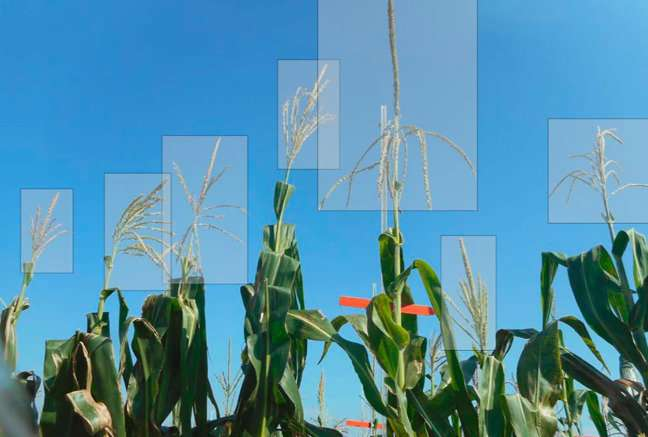 Researchers use crowdsourcing to speed up data analysis in corn plants