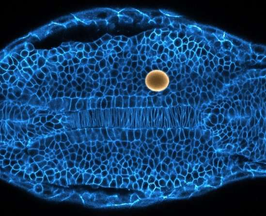 Researchers uncover how tissues and organs are sculpted during embryogenesis