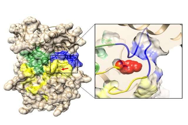 Researchers identify common molecular mechanism in two skeletal disorders