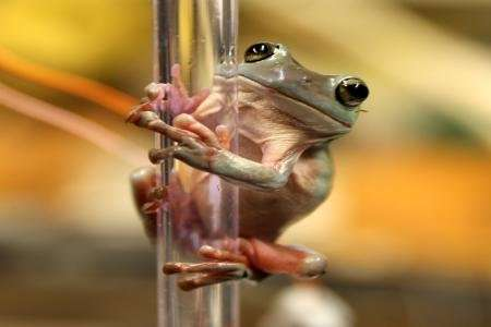 Scientists researching how tree frogs climb have discovered that a unique combination of adhesion and grip gives th