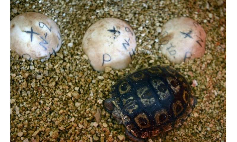 A baby giant turtle stands next to eggs at a breeding centre at the Galapagos National Park, in Santa Cruz island, Ecuador