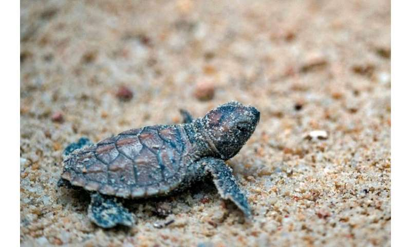 A baby hawksbill turtle at Tanjong Beach in Sentosa island