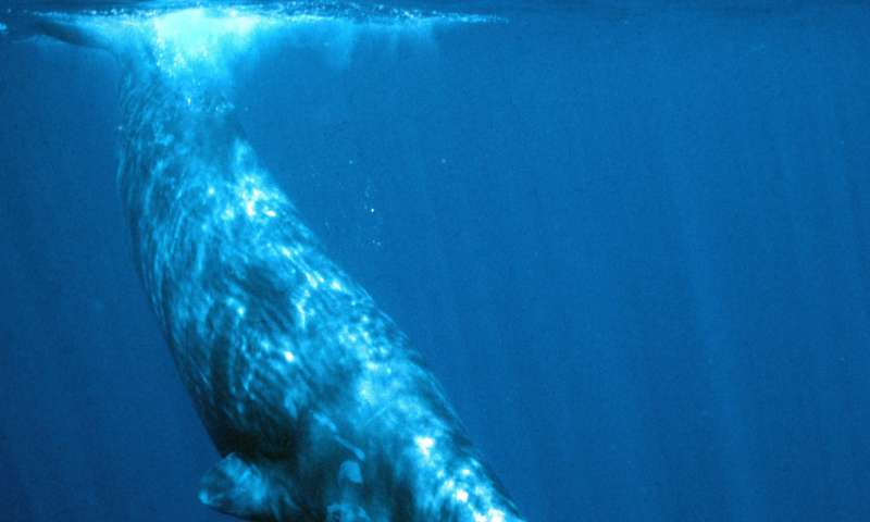 Consider, listen to the sperm whale final, sorry