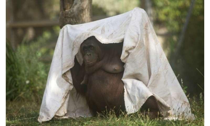 A female orangutan hides from the blazing sun in Madrid, Spain