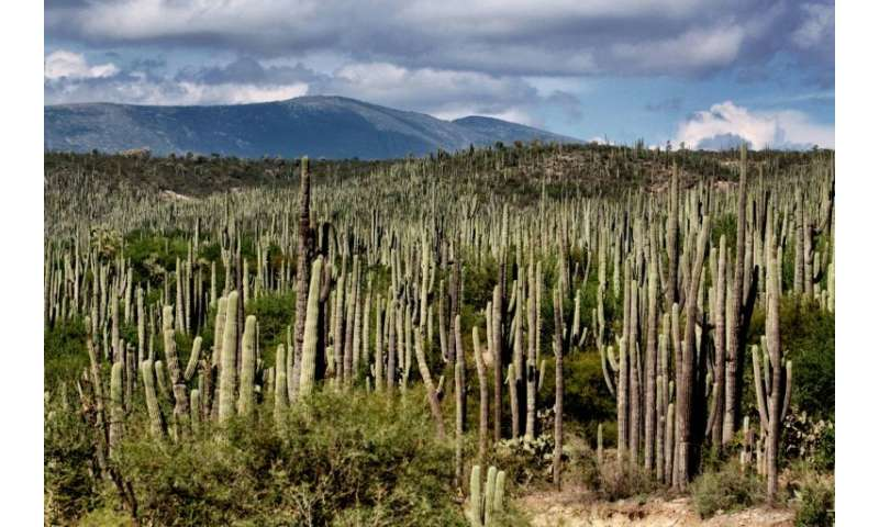 A forest of cacti in the Tehuacan-Cuicatlan Valley, which has just been declared a UNESCO World Heritage mixed site, reflecting