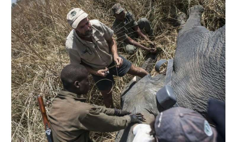 African Parks veterinarian Pete Morkel, centre, and rangers put a collar on a tranquilised elephant