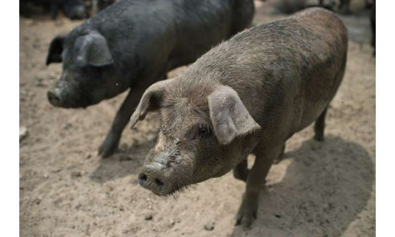 African swine fever is not harmful to humans but causes haemorrhagic fever in domesticated pigs and wild boar