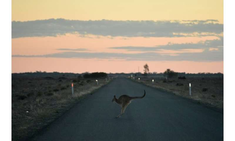 A kangaroo hops across the road outside the town of Booligal in western New South Wales—one of the many species struggling to ad