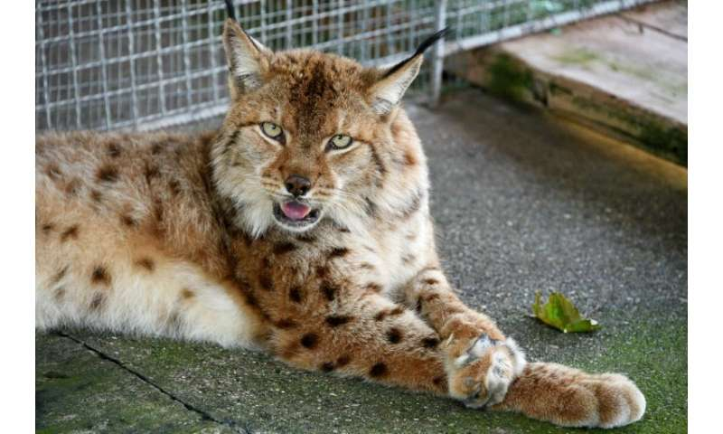 Albania suffered rampant deforestation in the 1990s, destroying the habitat and hunting ground of the lynx