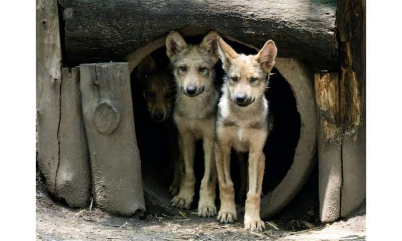 A litter of eight Mexican wolf cubs has graced a zoo in Mexico and given new hope for the endangered species