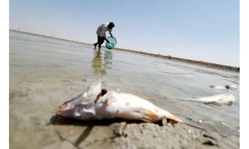 A man collects dead fish from a reservoir at a fish farm north of Basra in southern Iraq