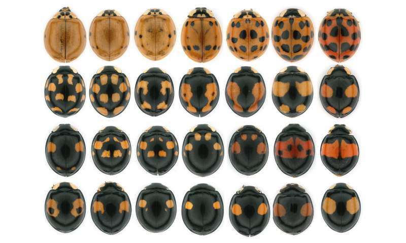 A mechanism of color pattern formation in ladybird beetles